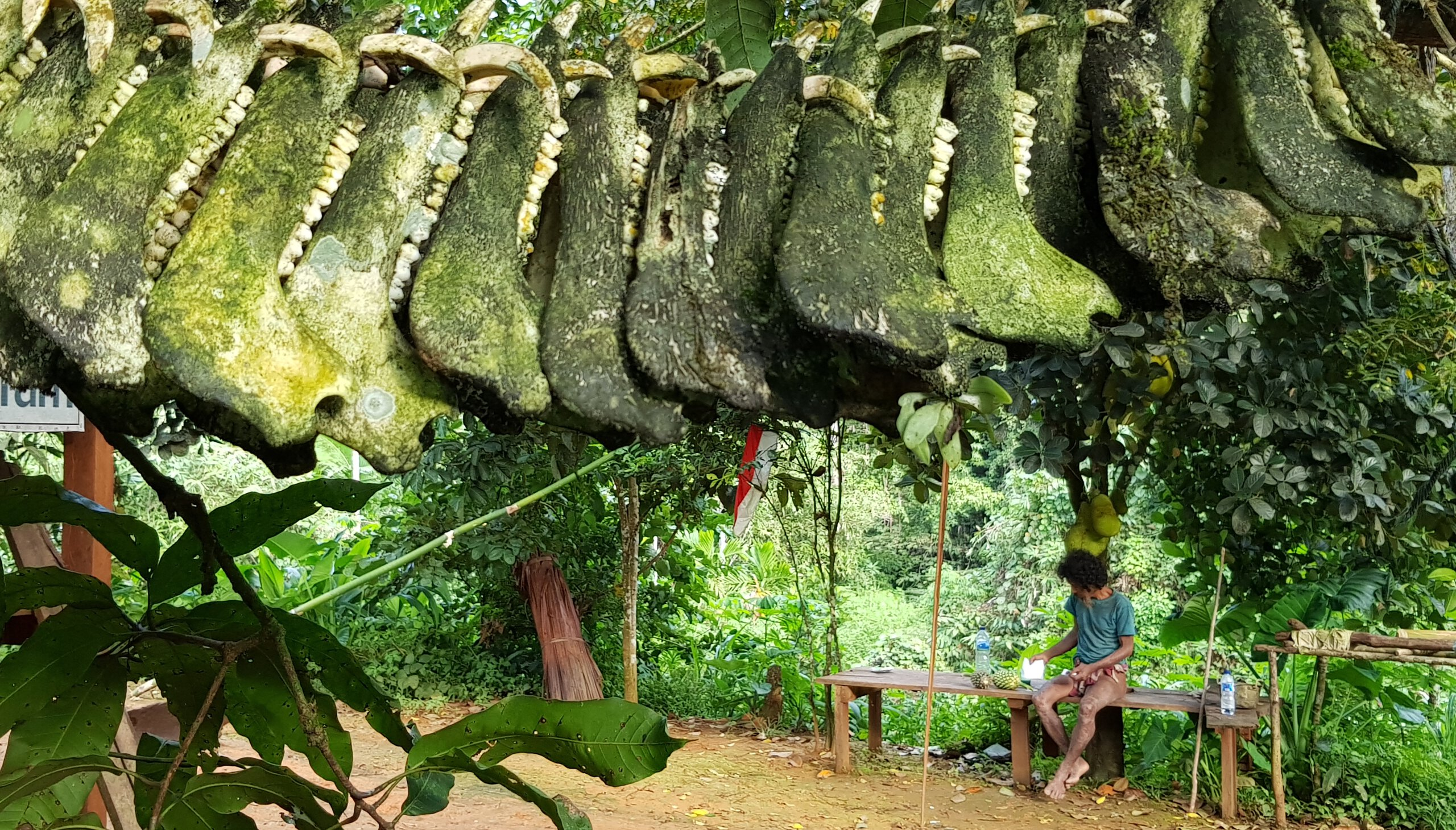 The trophy jaws of wild boars hang on a liana in front of a Togutil house in North-East Halmahera, North Maluku. Pojiji, the hunter (in the background), enjoys a relaxed afternoon.